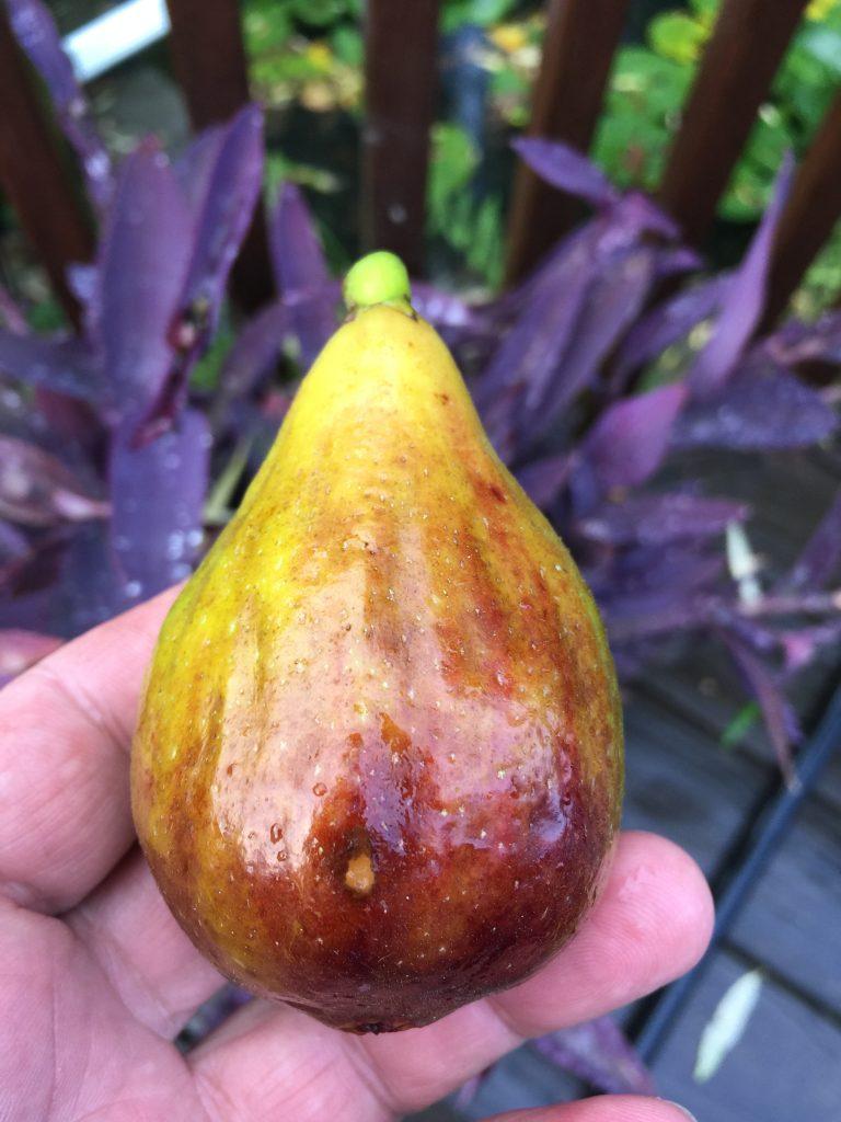 Marrakech fig variety