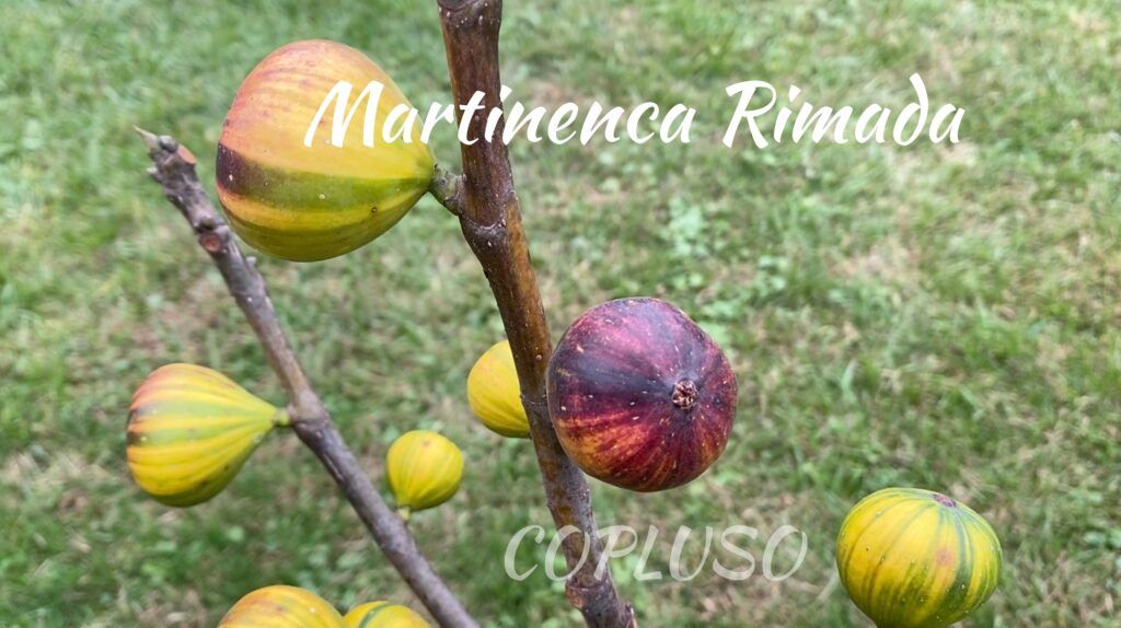 Martinenca Rimada Spanish fig variety