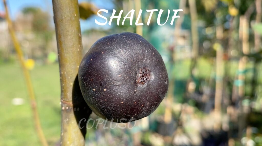 Shaltuf is a common fig, rain-resistant