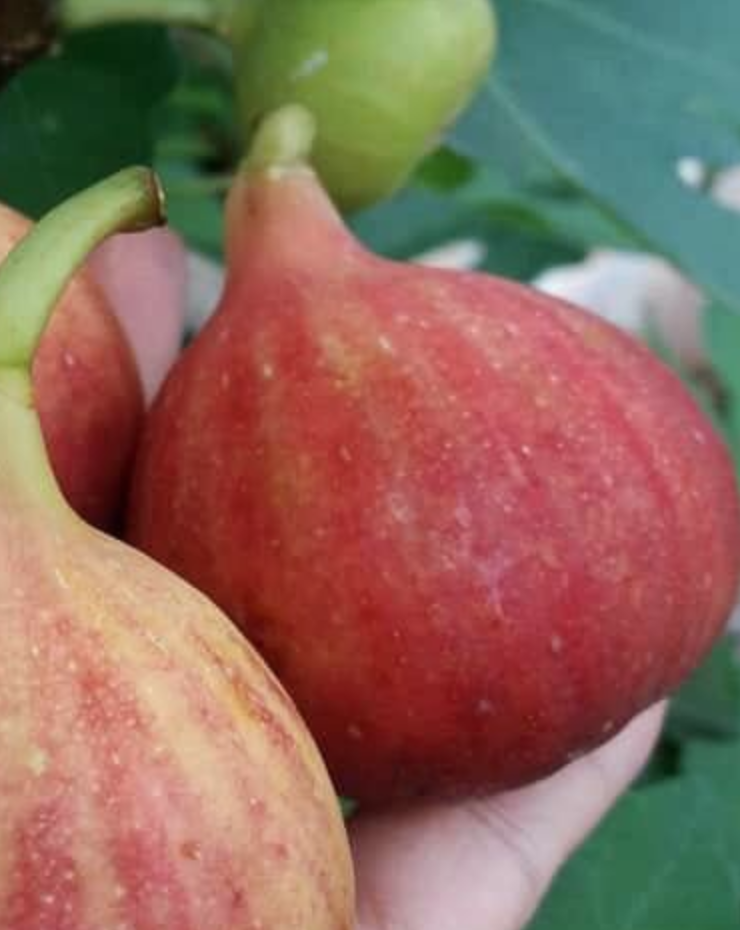 CAMY French fig variety